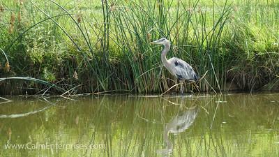 IMG_9236 4x6D Blue Heron