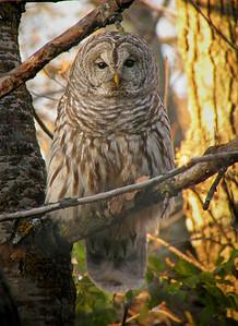 Barred Owl 001