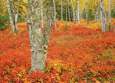 Birch Forest with Bush Honeysuckle