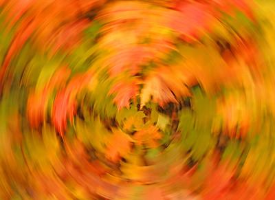 Maple Leaves 002