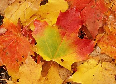 Maple Leaves 001