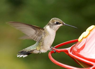 Ruby-Throated Hummingbird 002