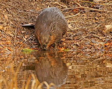 Beaver Reflections