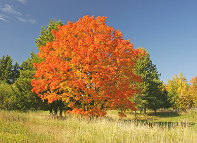 Red Maple on Old Homestead North of Two Harbors.