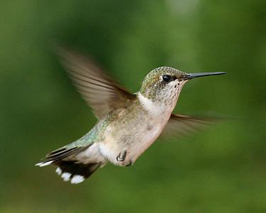 Ruby-Throated Hummingbird 001