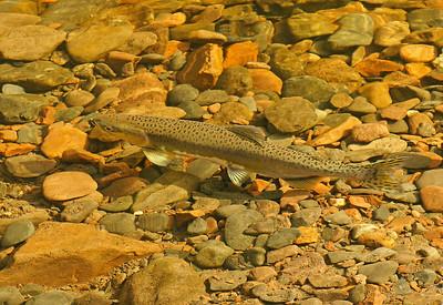 Salmon Cascade River 002
