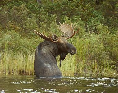 Bull Moose BWCAW 002