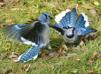 Blue Jays Fighting 1