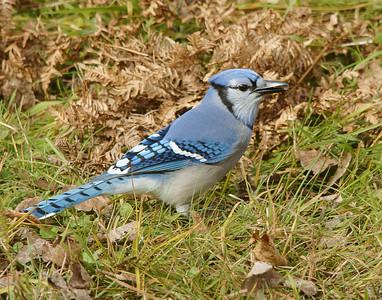 Blue Jay 002