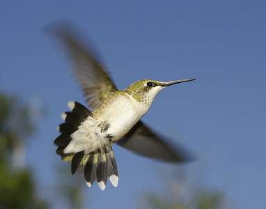 Female Hummingbird 002