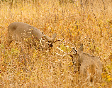 Two Harbors Whitetail 004