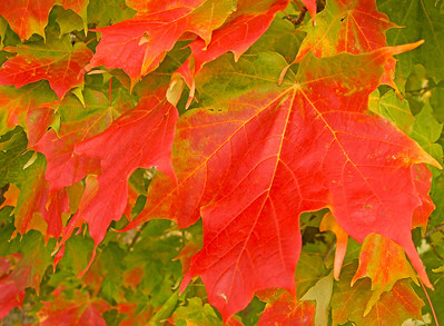 Blood Red Maples