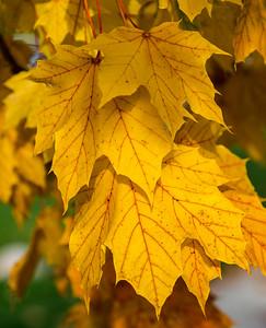 Fall Maple Leaf 1
