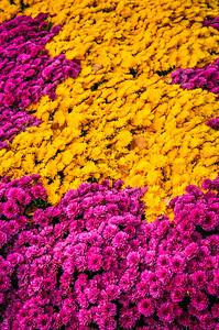 Purple and Yellow Mums