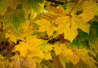 Fall Maple Leaf 5