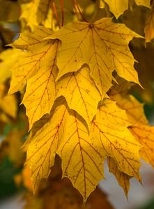 Fall Maple Leaf 3