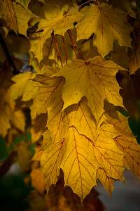 Fall Maple Leaf 2