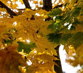 Fall Maple Leaf 4
