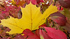 Maple leaf resting on burning bush  - Fall 2013 - Coopersburg, PA