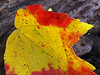 Red Maple Leaf on Log in Autumn; Sellersville, PA