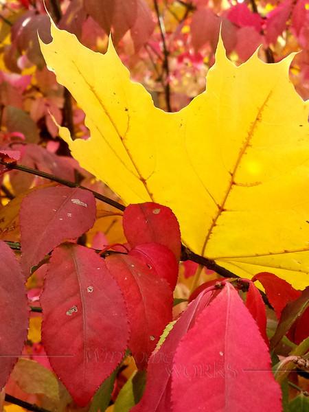 Maple leaf resting on burning bush  - Fall 2013 - Coopersburg, PA
