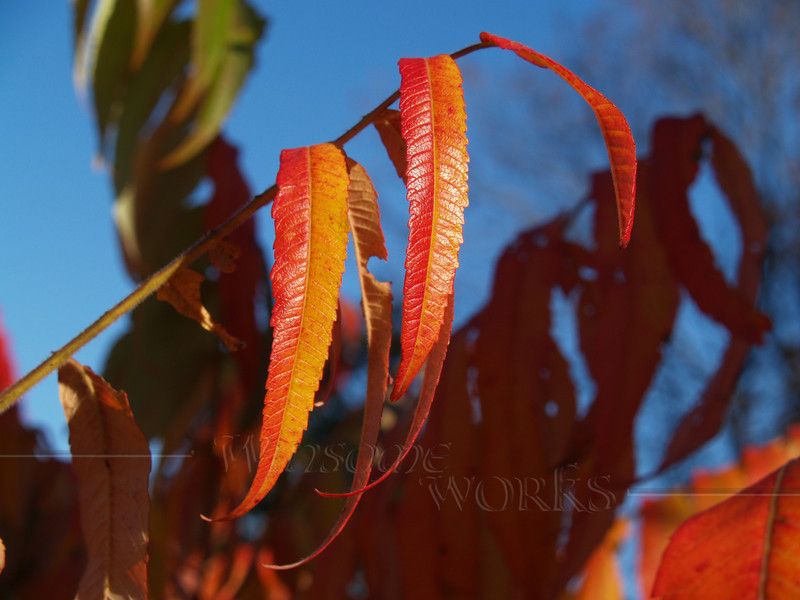 Young Sumac Leaves in Fall; Springtown, PA
