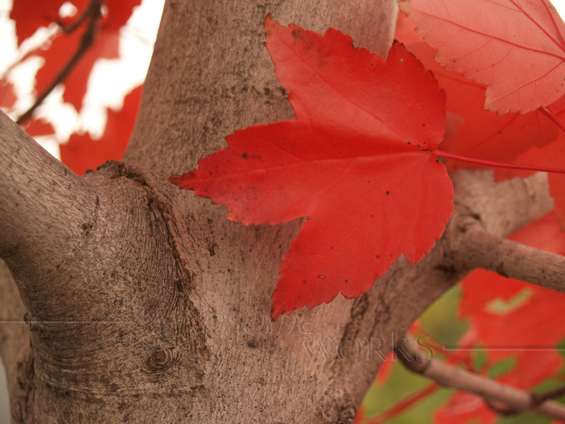 Red Maple (Acer rubrum) near Orefield, Lehigh Valley PA