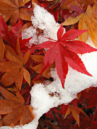 Wet Japanese Maple Leaves in Snow - Quakertown, PA   [fx]