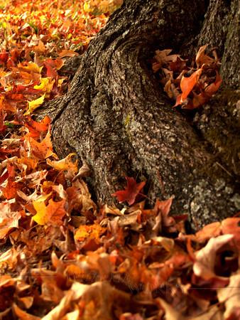 Old maple tree in Coopersburg