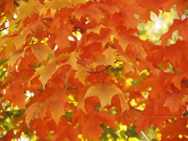 Maple leaves 2015 - Philadelphia, PA