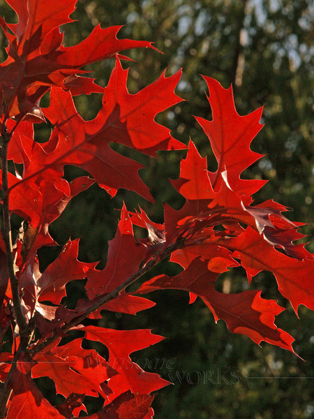 Brilliant Red Oak Leaves on Young Sapling in Autumn