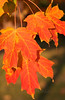 Maple Afire in Fall 2013 - Quakertown, PA