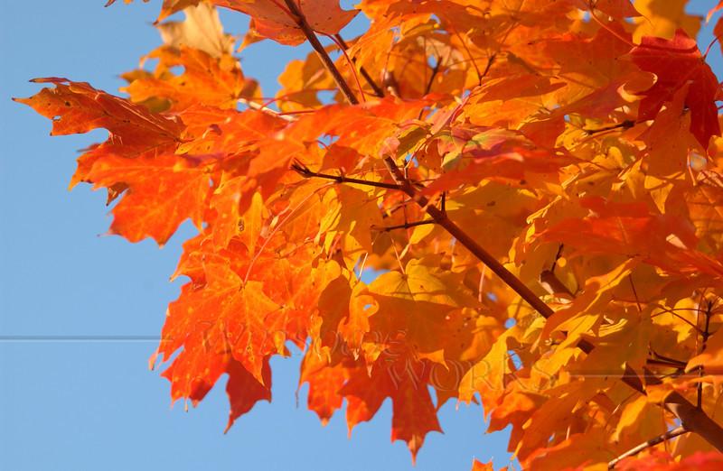 Maple Afire in Fall 2013 - Quakertown, PA