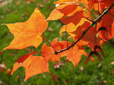 Maple leaves, Quakertown PA