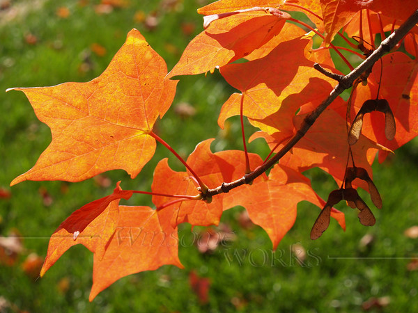Maple leaves, Quakertown PA