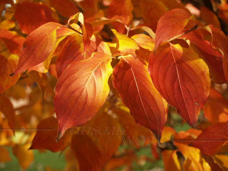 Dogwood leaves in Perkasie, PA