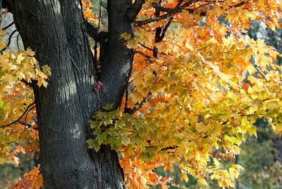 Fall Tree 7