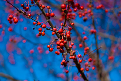 Red Berries 2