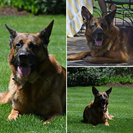 Handsome 5 years old German Sheppard