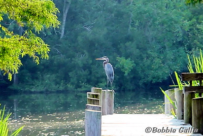"""©Bobbie Gallia; """"Hot Summer Evening""""; Great Blue Heron at Lake Fausse Pointe State Park, near St. Martinville, Louisiana."""