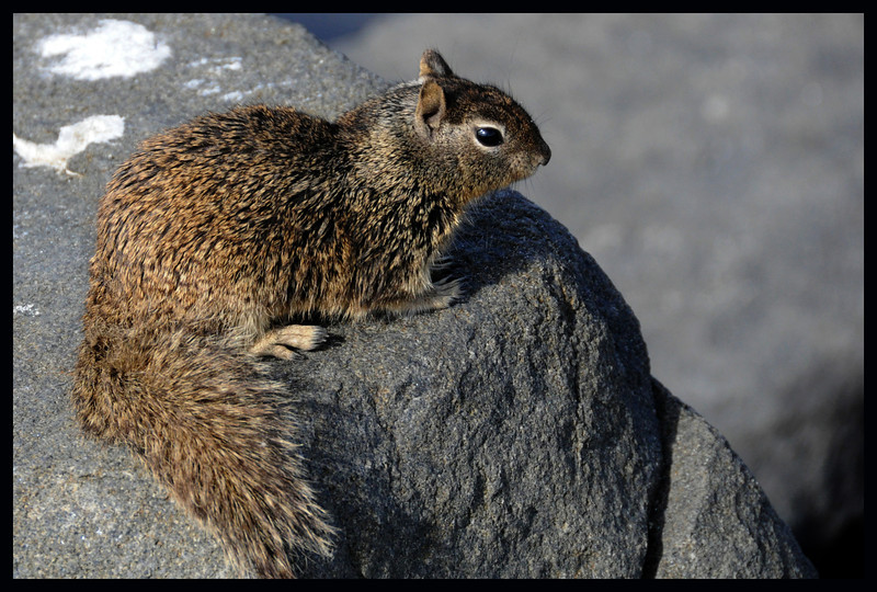 Pacific Ocean Ground (Rock) Squirrel