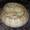Pastel Snake