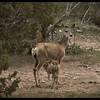 Mule Deer Fawn Lunch-Time