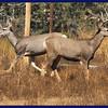 Mule deer out back.