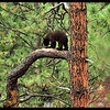 Black Bear Cub on a Ponderosa Pine Tree Branch