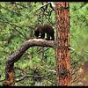 Black Bear Cub on a Ponderosa Pine Tree Branch