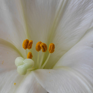 Easter Lilly _1230118
