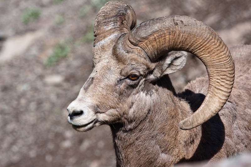 Not a full curled Bighorn Ram, but still a handsome boy. This ram was near Sylvan Pass in Yellowstone, NP.