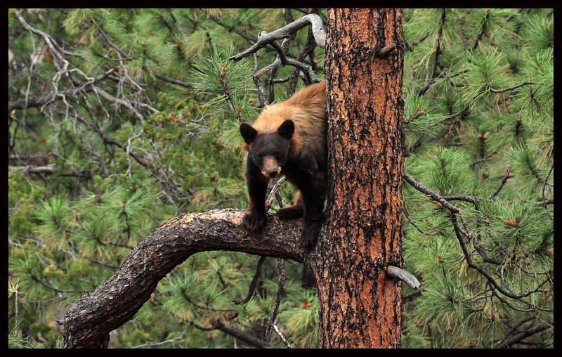 Female Black Bear up a Ponderosa Pine Tree