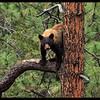 Female Black Bear up a Ponderosa Pine Tree